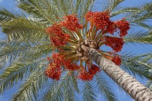 עץ תמר בארץ ישראל